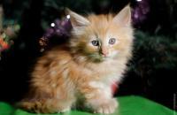 питомник норвежских лесных кошек