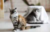 котята норвежской лесной кошки